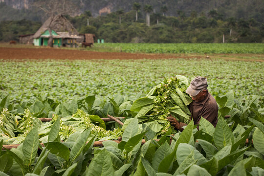 Tobacco farmers collecting tobacco leaves in a beautiful green landscape with a local house in background. Vinales, Cuba.