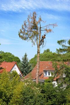 Landschaftsgärtner bei Baumfällarbeiten in der Nachbarschaft