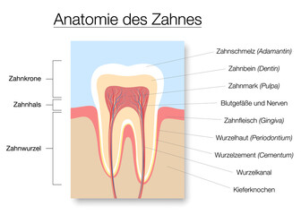 Tooth anatomy, german names, medical labeled cross section chart with enamel, dentin, pulp, gingiva, blood vessels and nerves. Vector illustration on white.