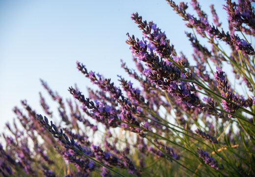Detail of lavander with the blue sky