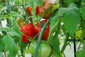 Group of beef tomatoes ripen in the bushes in a greenhouse