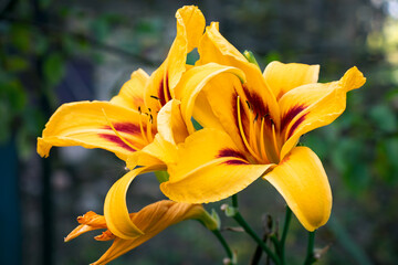 Bright yellow lilies on a flowerbed in a garden on a summer day, close-up