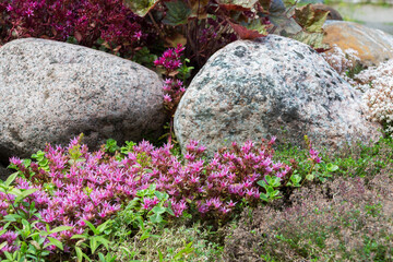 Flowering plants in a small rockery in the summer garden. Blooming pink stonecrop, sedum