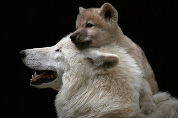 Photo sur Plexiglas Loup Close-up of a cute and playful Arctic wolf pup (Canis lupus arctos) close to mother and isolated on black background