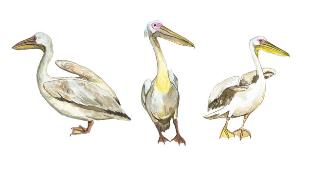 Three pelican birds isolated on white background. Watercolor realistic hand drawing illustration of Pelecanus rufescens. Collection tropic white bird.