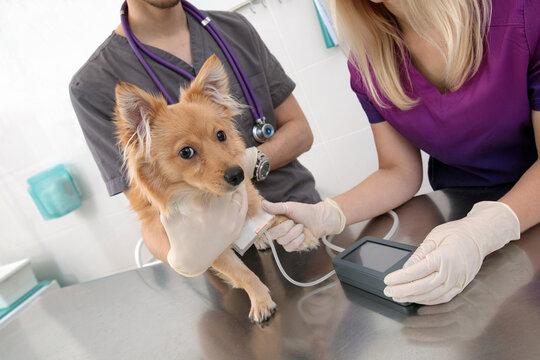 Veterinarian examines dog in a veterinary clinic