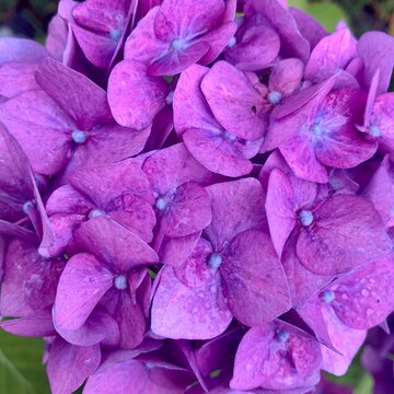 Hydrangea flowers - close up macro