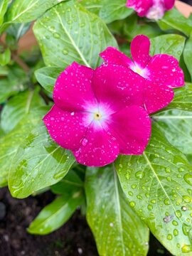 pink primrose flower with water drops