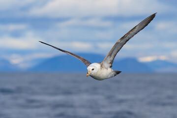 Northern fulmar (Fulmarus glacialis). Arctic fulmar soars in the air over the sea. Wild bird in a natural habitat. Flying seabird. Bering Sea, Pacific ocean, Far East of Russia.