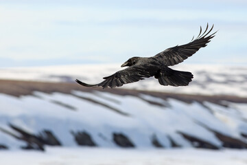 A black raven hovers over a snowy sea coast and tundra. A beautiful wild bird in its natural habitat. The beginning of June in the Arctic. The cold climate of the polar region. Wildlife of Chukotka.