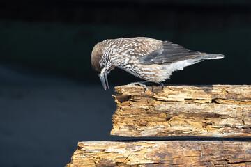 Spotted nutcracker bird (Nucifraga caryocatactes, Eurasian nutcracker)
