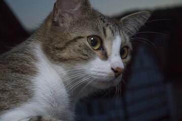 Schöne braun-weiße Katze