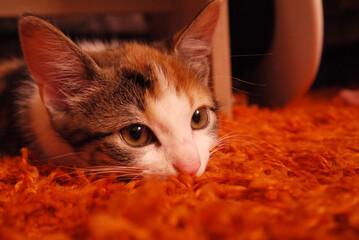 Katze auf Shaggy-Teppich