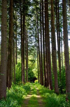 Forstweg in einem Nutzwald in Oberbayern, Forstenrieder Park