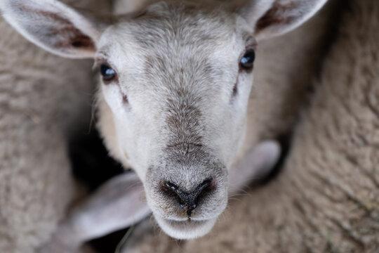 sheep eyes to eyes