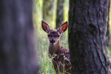 Młody jeleń w lesie (Cervus elaphus), dziecko jelenia, bambi, młode zwierzę z dużymi uszami