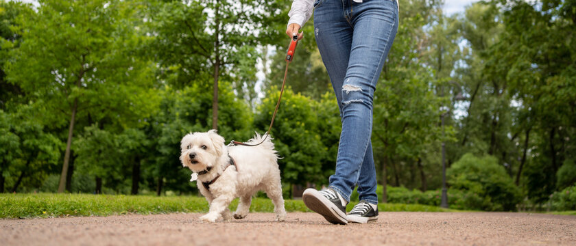 Happy dog maltese silky terrier on a harness. Walks with the mistress in the park.