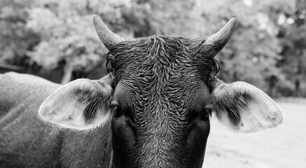 Wall Mural - Close up of wet cow face in black and white, rainy weather concept on farm.
