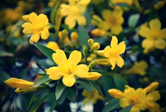 Jasminum humile, the Italian jasmine or yellow jasmine, is a species of flowering plant in the family Oleaceae, native to Afghanistan, Tajikistan, Pakistan, Nepal, Myanmar and south west China