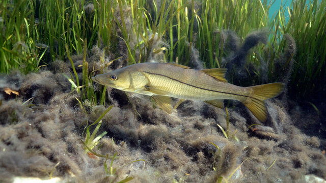A wild Snook (Centropomus undecimalis) moves past an eel grass bed searching for prey. Snook are highly prized game fish in Florida, and make excellent table fare.
