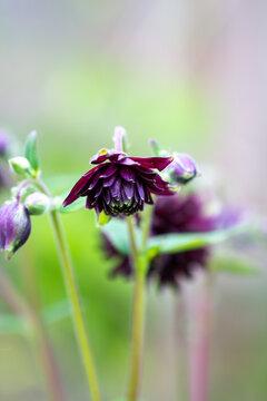 Columbine Aquilegia Vulgaris, Black Barlow, flower commonly known as Granny's Bonnet