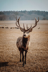 beautiful brown alone deer standing on field and looking to camera