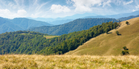 beech forest on the hills. wonderful landscape of carpathian mountains on a sunny day in august. meadow in yellow grass