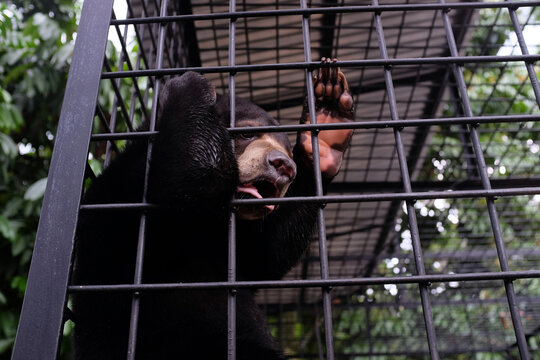Honey bears are saved from the hands of hunters in the city of Pekanbaru, Riau, Indonesia.