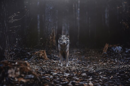 Portrait Of Wolf Standing In Forest