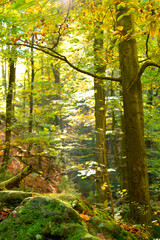 Beautiful autumn forest yellow leaves on tree and stones natural background