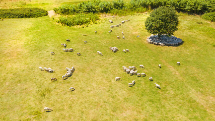 Aerial view of a flock of sheep and goats (Ovis aries) grazing in a countryside. Sheep are eating free and under a tree