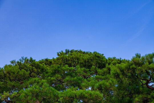 石川県金沢市兼六園の松と青空