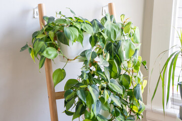 Group of philodendron brasil potted house plants growing on a ladder leaning against a wall.