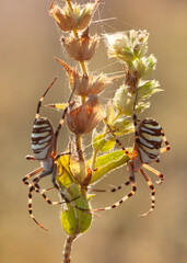 Beautiful spider feasting grasshopper on a spider web . Beautiful spider on a spider web