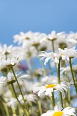 Obraz White flowers (Leucanthemum vulgare Lam., ox-eye) in the meadow - fototapety do salonu