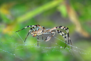 Tuinposter Vlinder Beautiful spider feasting grasshopper on a spider web . Macro photo.