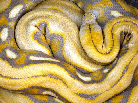 yellow snake