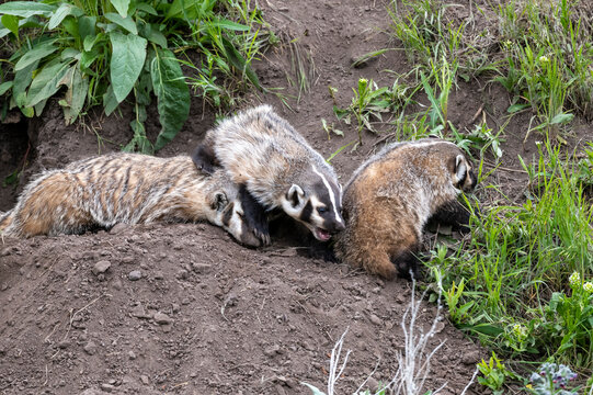 Badger and babies