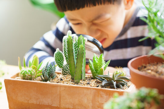 Closeup of cute little Asian boy hold magnifying glass and look at new stem of different species of small cactus he grow and take care. Montessori and Homeschool concept.