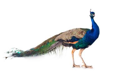 Papiers peints Paon peacock