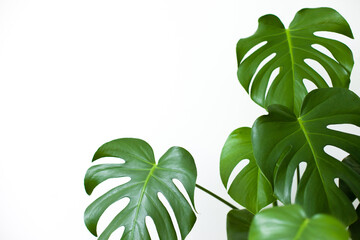green monstera deliciosa leaves on white background