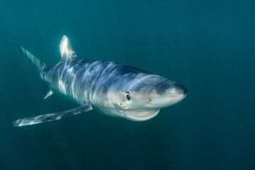 Wall Mural - A sleek Blue shark, Prionace glauca, cruises through the shallow, sunlit waters of the Atlantic Ocean, not far from the shores of Cape Cod, Massachusetts. Blue sharks are found worldwide.