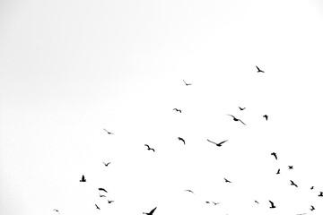 Foto op Canvas Vogel black birds on a white background