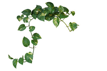 Wall Mural - Heart shaped green variegated leave hanging vine plant of devil's ivy or golden pothos (Epipremnum aureum) popular foliage tropical houseplant isolated on white with clipping path.