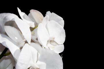 Fototapeta Białe piękne duże storczyki orchidee Orchidaceae wyizolowane na czarnym tle. obraz