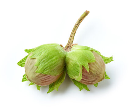 fresh green hazelnuts