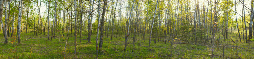 Wall Murals Panoramic view of deciduous forest in spring.