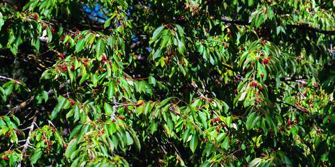 Wildkirschenbaum