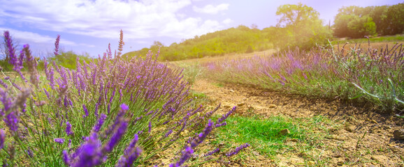 Lavender meadow in countryside. Sunlight effect. Agriculture farm. Fragrance production