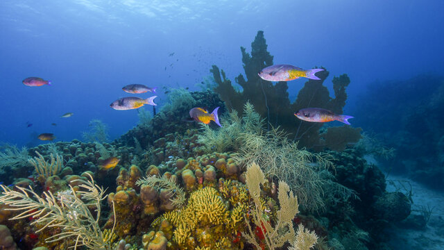 A School of Creole Wrasse Swim Over the Reef of the North Shore of St Croix in the US Virgin Islands
